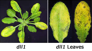 dll1 and dll1 leaves close up.
