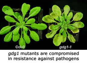 gdg1 mutants are compromised in resistance to pathogens.