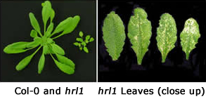 Col-0 and hrl1 compared to close up of hrl1 Leaves