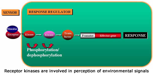 Receptor kinases are involved in perception of environmental signals.